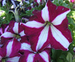 Крупноцветковая петуния с окраской в виде звезды