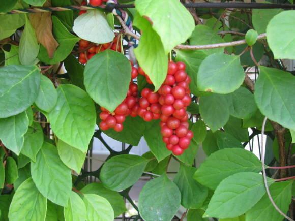 как использовать ягоды китайского лимонника
