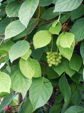 как вырастить из семян лимонник китайский