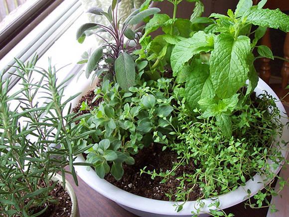 Beginners Gardening Tips  How to Maintain an Indoor Herb