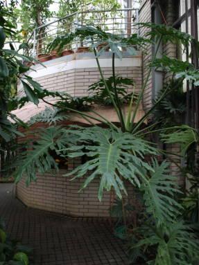 Филодендрон двоякоперистый (Philodendron bipinnatifidum)