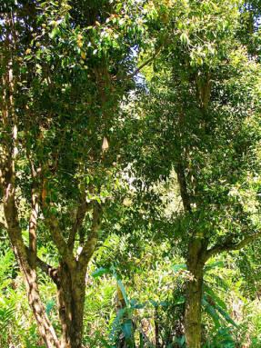 {amp}#xA;Гвоздичное дерево (Syzygium aromaticum)