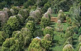 Гвоздичные плантации