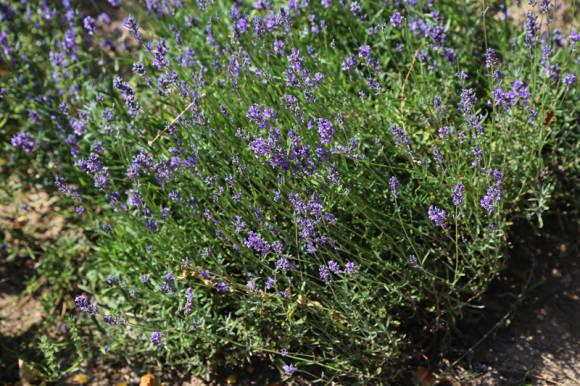 Лаванда узколистная (Lavandula angustifolia)