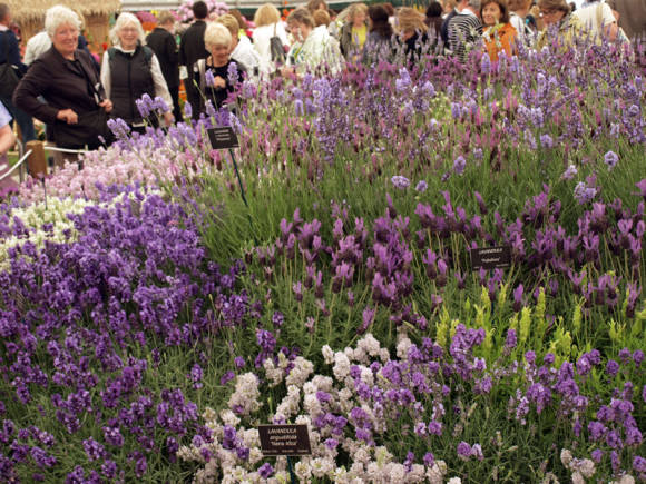 Разнообразные лаванды на выставке Челси-2011