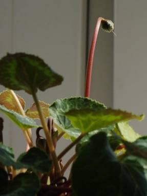 Образование семенной коробочки после цветения