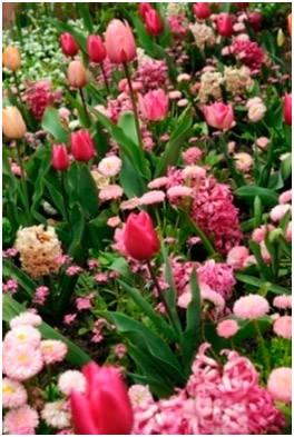 Гиацинты, тюльпаны