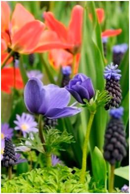 Анемоны, мускари, тюльпаны