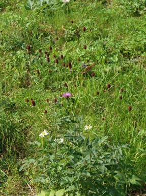 Кровохлебка лекарственная (Sanguisorba officinalis)
