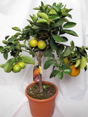 Апельсин китайcкий сладкий