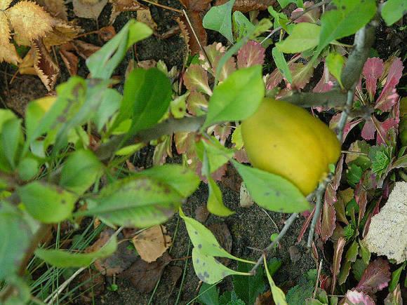 Айва японская поспевающий плод