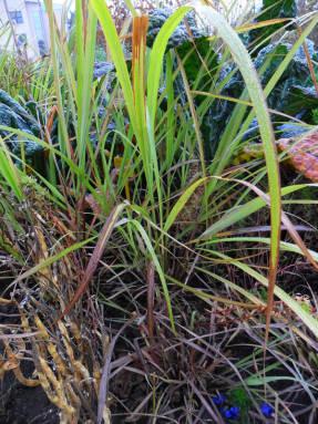 Малабарская трава