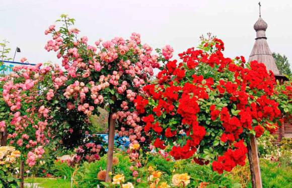 Розовое дерево - цветущий букет