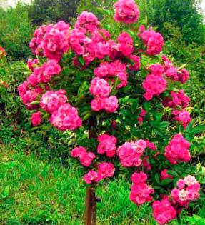 Каролин Будде – обильно цветущая, зимостойкая