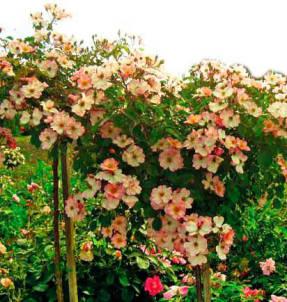Рози Кушн – почвопокровная роза