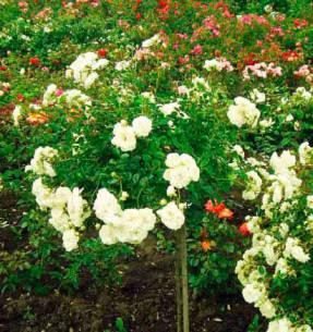 Сиа Фоам – великолепная роза