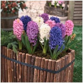 Домашние луковичные цветы в горшках
