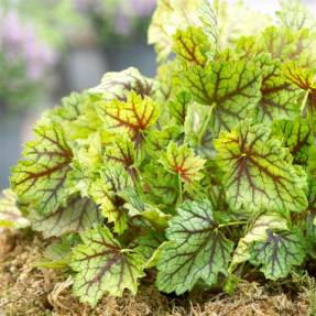 Heuchera Ring of Fire