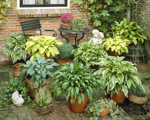 Hosta Bright mix