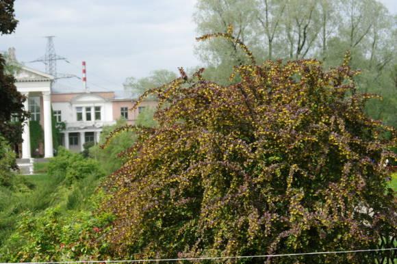 Барбарис обыкновенный Atropurpurea