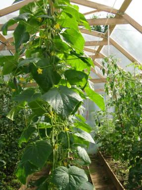 Что можно одновременно выращивать внутри одной теплицы?