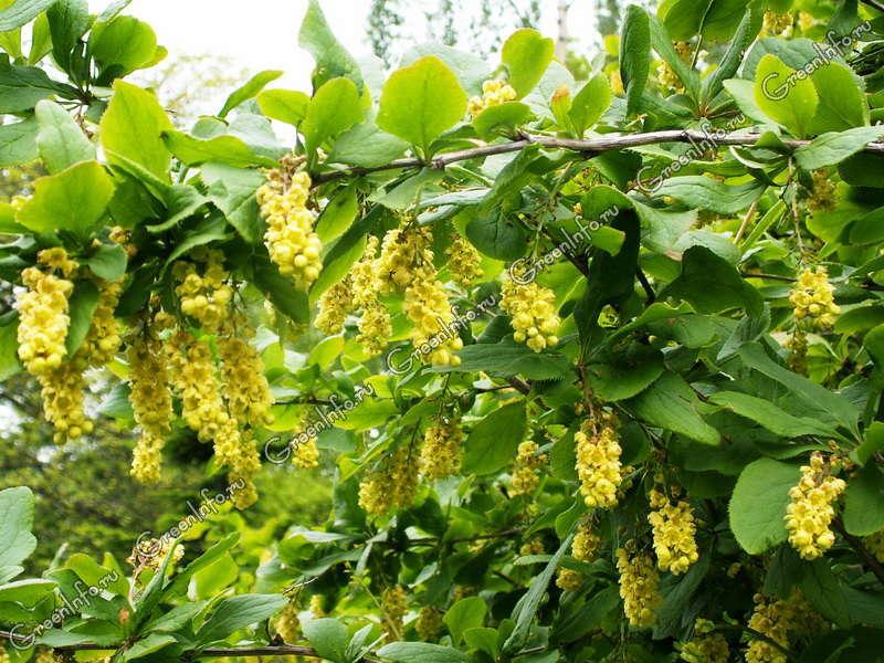 Барбарис амурский (лат. Berberis amurensis) — кустарник, вид рода барбарис (berberis) семейства барбарисовые (berberidaceae).