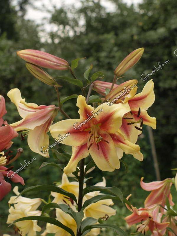 фото лилии восточные