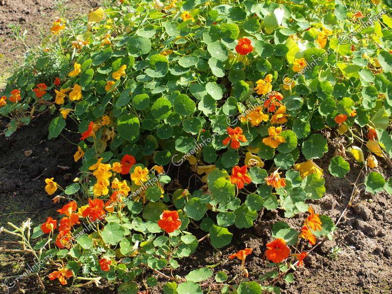 Настурция - травянистые растения для открытого грунта - gree.