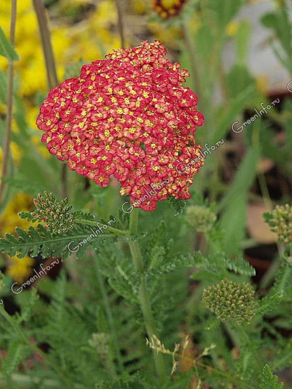 Тысячелистник обыкновенный - Тысячелистник - Травянистые растения для открытого грунта - GreenInfo.ru