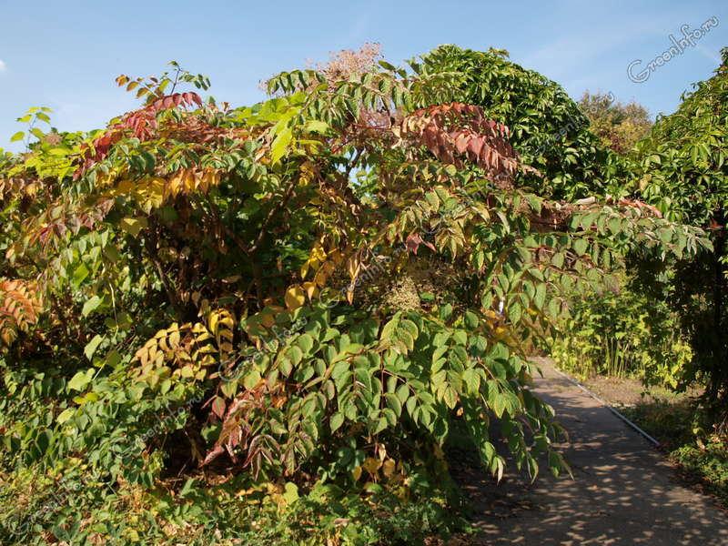 аралия фото дерево