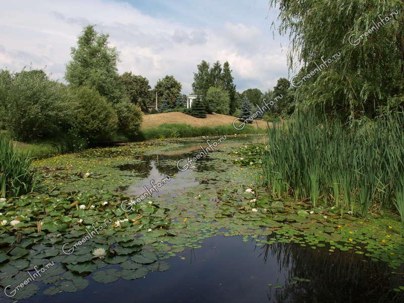 Водные растения растения для водоемов фото и названия ru Водные растения