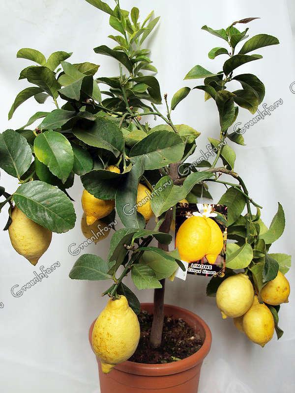 комнатные растения фото цитрусовые
