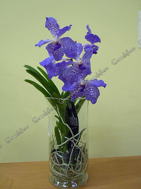 Ванда орхидея купить в спб