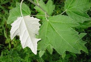 тополь дерево фото листьев