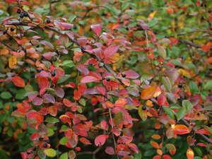 кизильник блестящий осенью