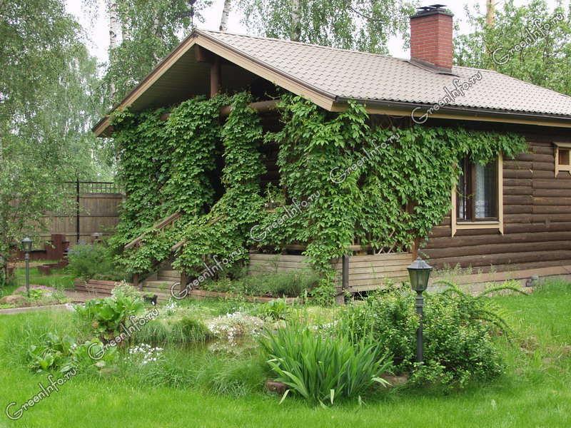 девичий виноград ландшафтный дизайн фото