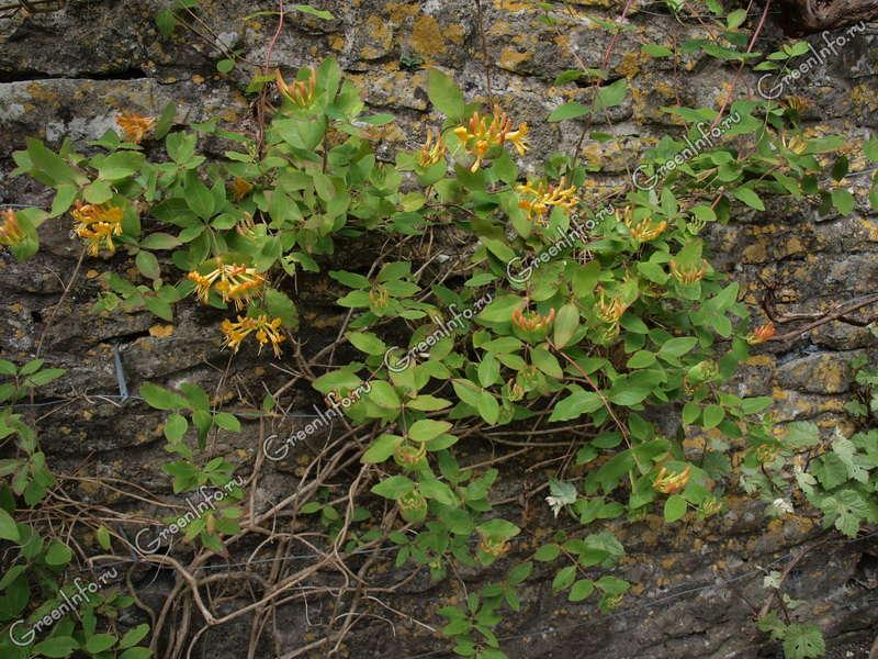 каприфоль жимолость ароматная лиана