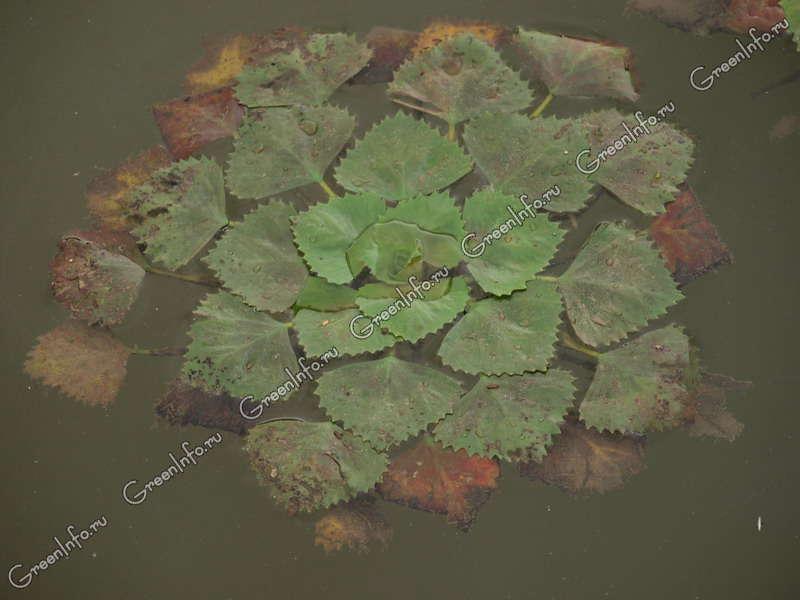 Фото водяной лотос
