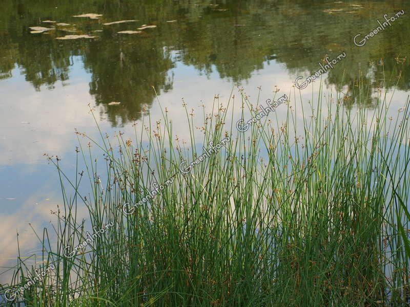 озерный камыш фото