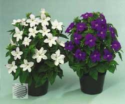 Красивоцветущие домашние цветы
