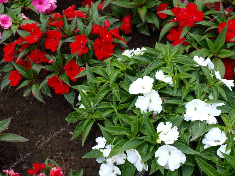 Комнатное растение бальзамин Ванька мокрый виды уход в