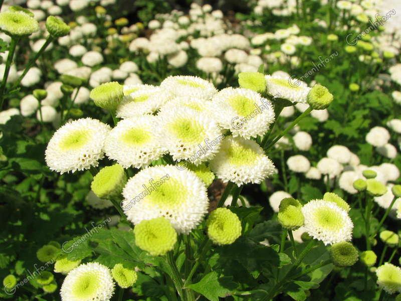 Цветок ромашка  королева лугов и полей Садовые растения