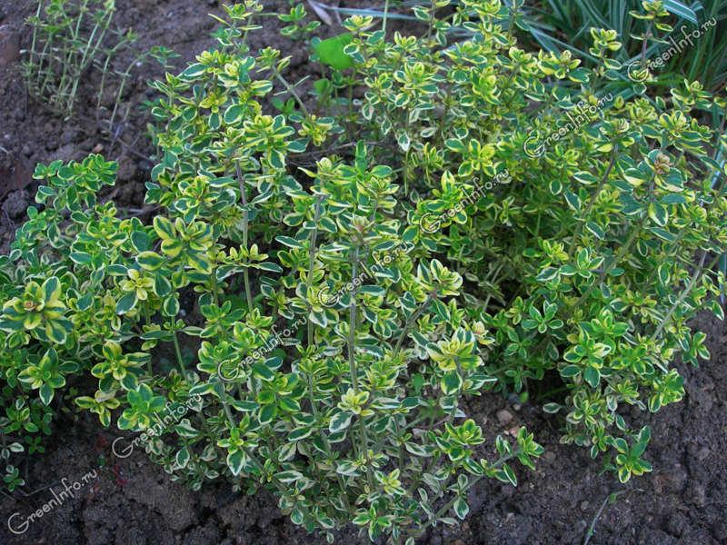 Выращивание тимьяна в открытом грунте 616