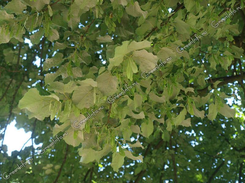 Липа это дерево или кустарник