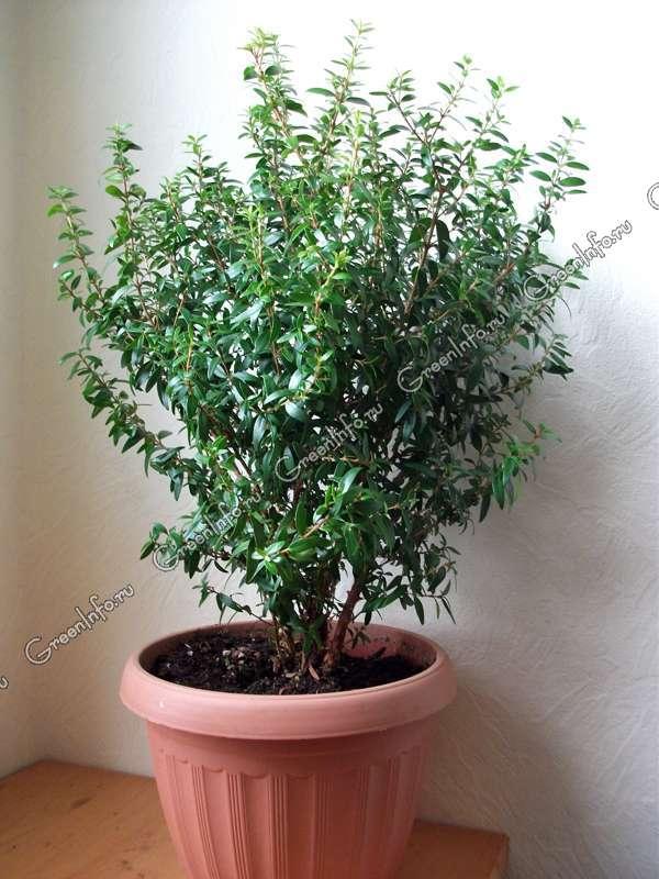Мирт - Декоративно-лиственные растения - Комнатные ...: http://www.greeninfo.ru/indoor_plants/myrtus.html/Firms