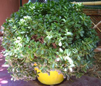 Домашние цветы фото крассула