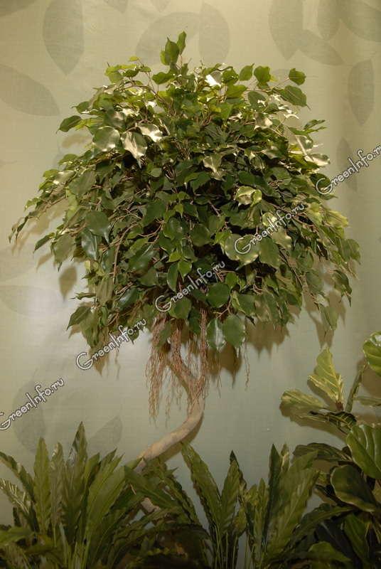 Жизненная форма вечнозеленое дерево