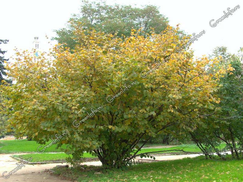 Как правильно посадить лещину осенью? В саду (Огород. ru) 18