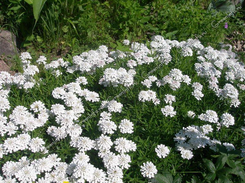 Выращивание иберис зонтичный 11