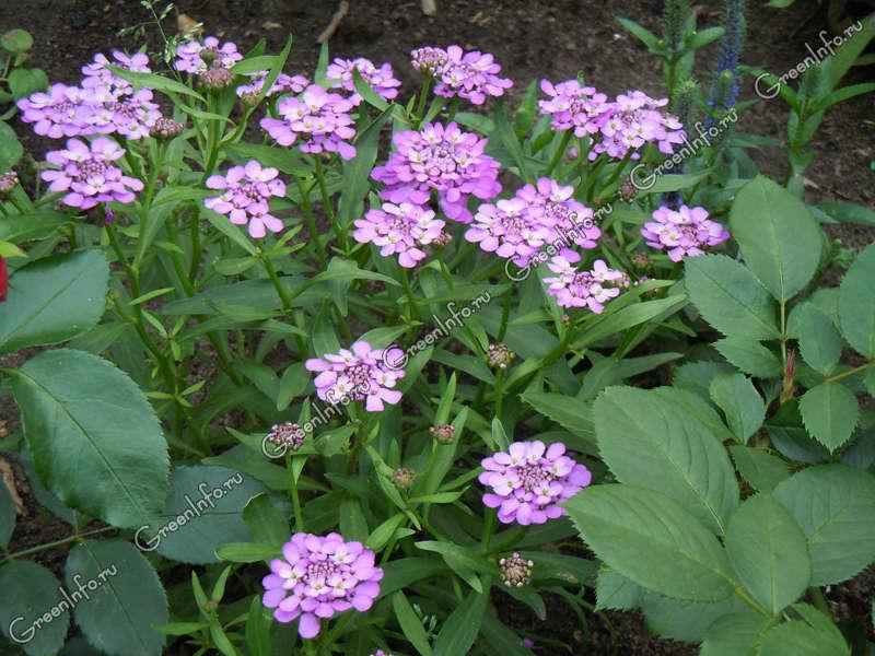 Выращивание иберис зонтичный 58